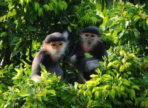 red-faced monkey in Monkey Mountain